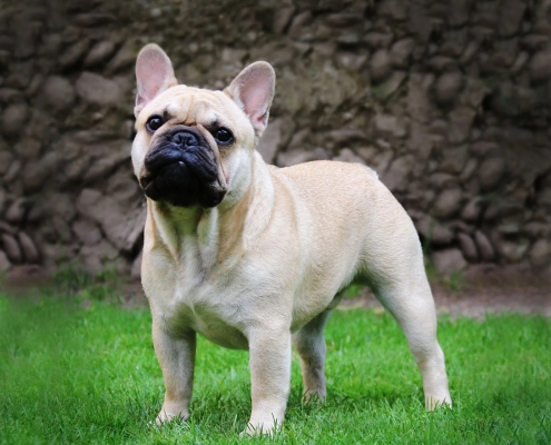 Hillcon's French Bulldogs