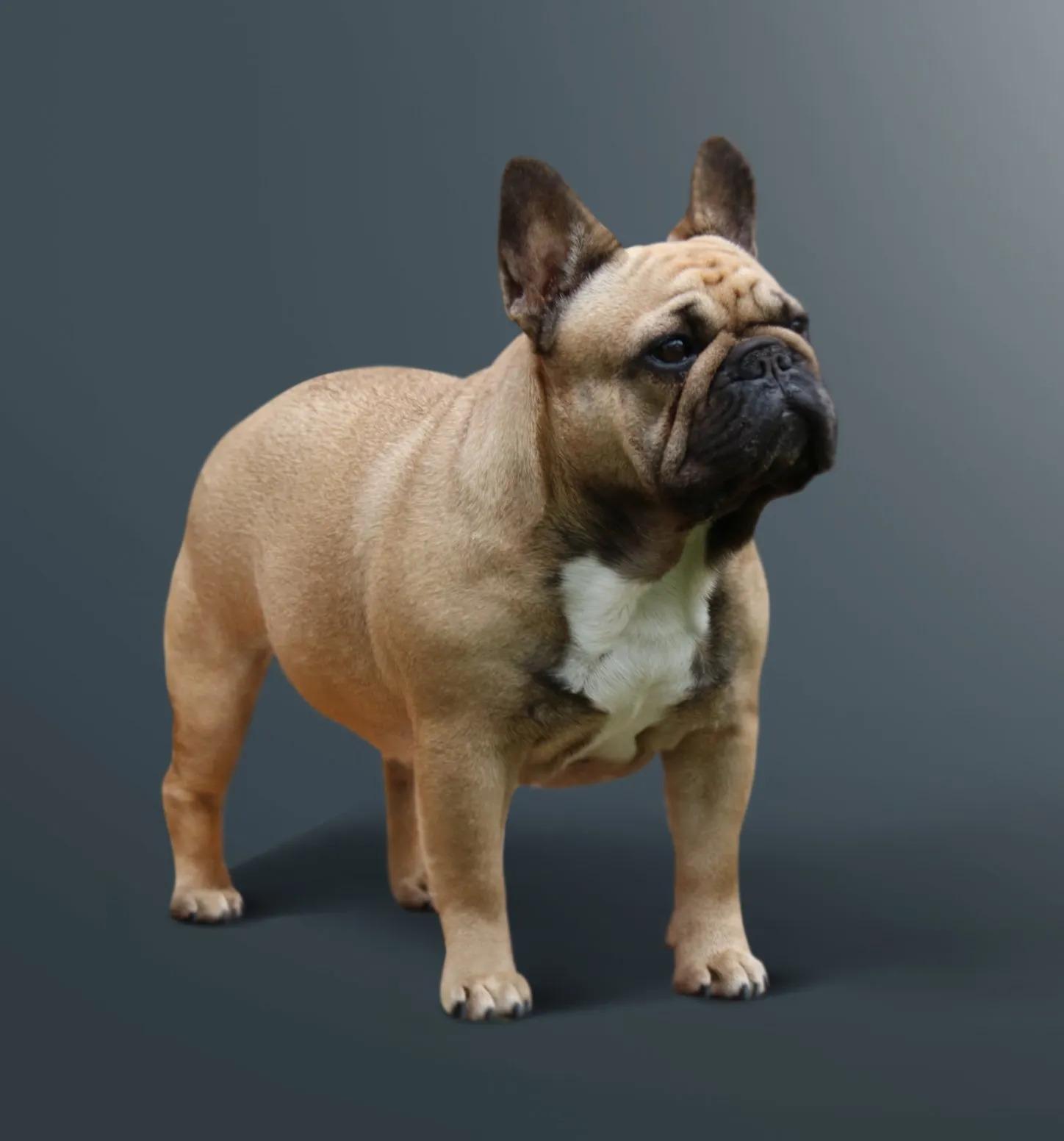 Hillcon's French Bulldogs