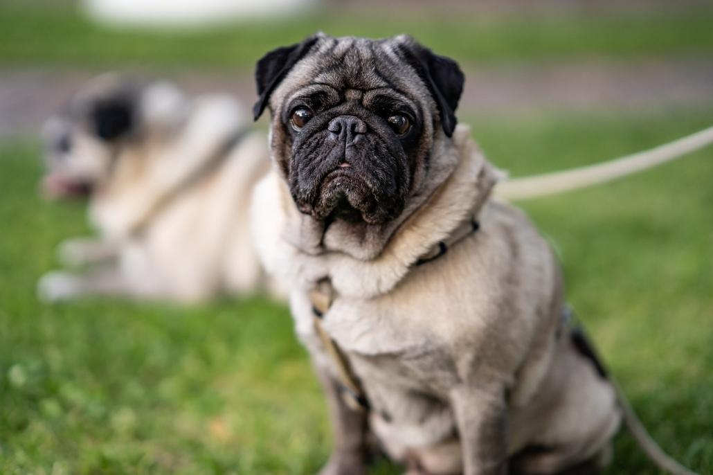 Cheratite pigmentosa nel cane: cause, diagnosi e cure